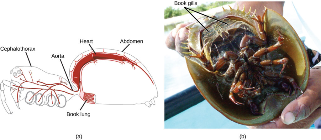 phylum arthropoda biology for majors ii Arthropoda Grasshopper part a is a diagram of a spider showing an outline of the body, with