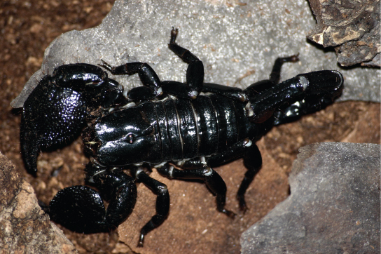 The photo shows a black, shiny scorpion with very large chelicerae, or pincers.