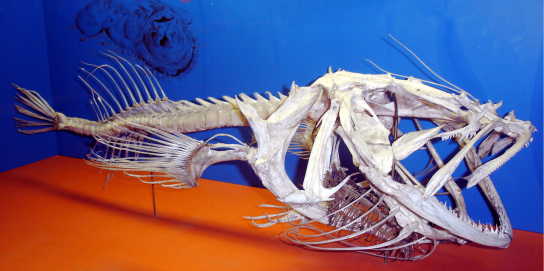 Photo shows a fish skeleton with a vertebral column extending back from the skull.