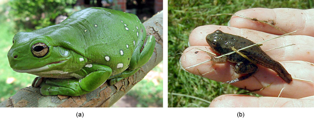 Part a shows a big, bright green frog sitting on a branch. Part b shows a frog with a long tail from the tadpole stage.