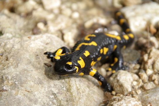 Clades of Amphibians | Biology for Majors II