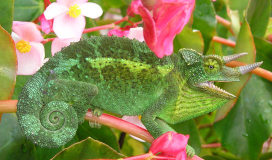 The photo shows a green lizard with its tail curled like a snail shell. The lizard has two horns and matches the leaves of the plant on which it sits.