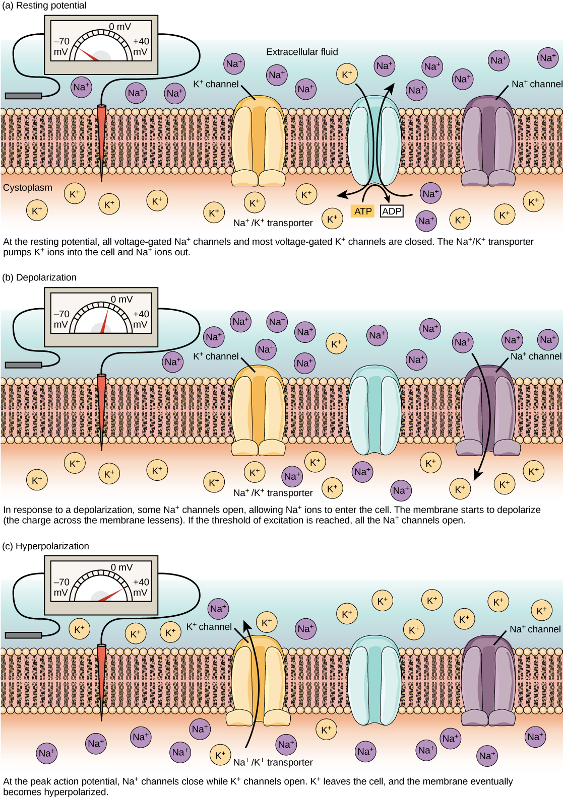 Voltage-gated ion channels open in response to changes in membrane potential.