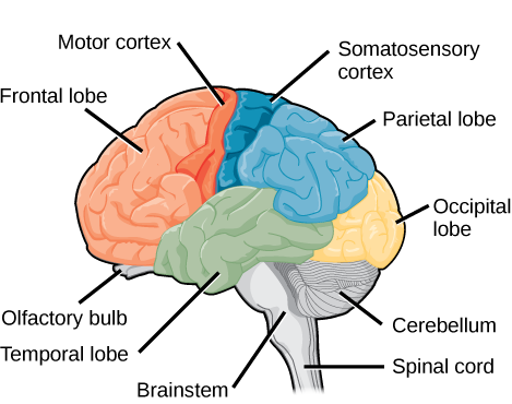 Brain biology for majors ii sagittal or side view of the human brain shows the different lobes of the cerebral ccuart Choice Image