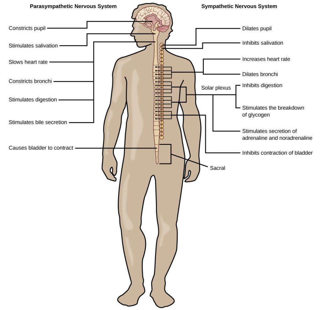 Autonomic Nervous System Biology For Majors Ii