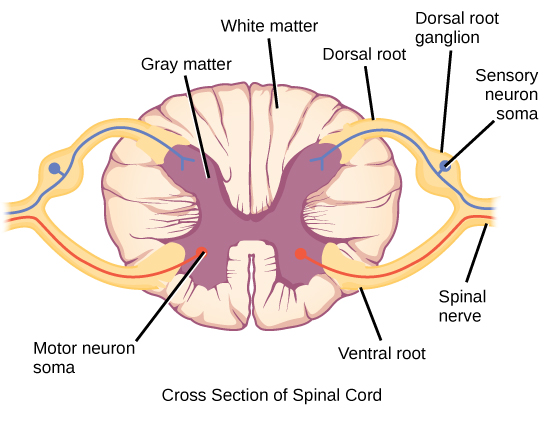Illustration shows a cross section of the spinal cord. The gray matter forms an X inside the white matter. A spinal nerve extends from the left arm of the X, and another extends from the left leg of the X. The two nerves join together to the left of the spine. The right arm and leg of the X form a symmetrical nerve. The part of the nerve that exits from the leg of the X is called the ventral root, and the part that exists from the arm of the X is called the dorsal root. The ventral root is on the belly side, and the dorsal root is on the back side. The dorsal root ganglion is a bulge halfway between where the nerve leaves the spine and where the dorsal and ventral roots join. Sensory neuron somas cluster in the dorsal root. Motor neuron somas cluster in the gray matter in the leg of the X. Motor neuron axons are bundled in the ventral root.