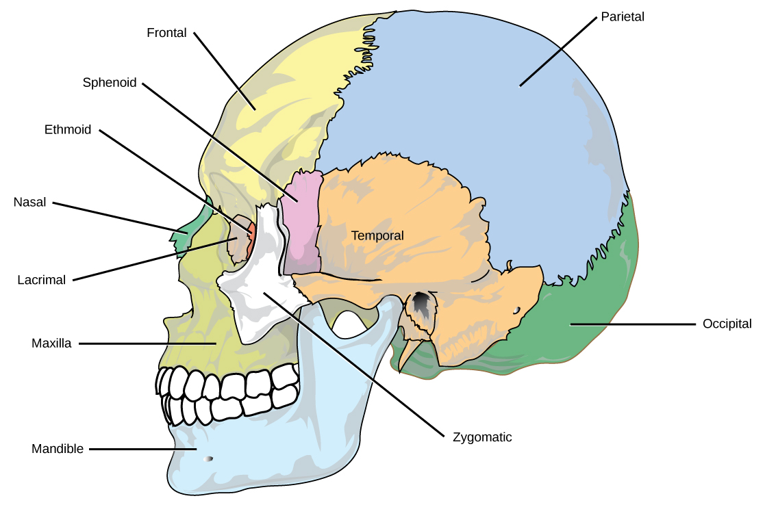 The eight cranial bones of the skull are shown.