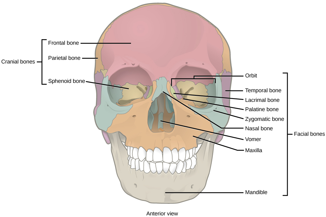 human axial skeleton | biology for majors ii, Human Body