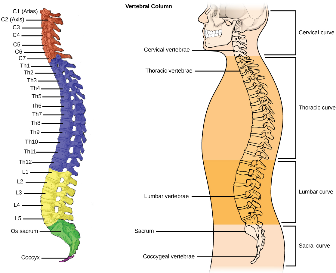 Human Axial Skeleton Biology For Majors Ii