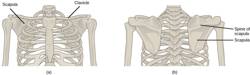 Illustration shows the pectoral girdles of the shoulder. Each girdle consists of a long, thin clavicle that runs from the sternum to the arm and a flat, triangular scapula that extends down from the clavicle. Viewed from the back, the upper part of the scapula has a prominent protrusion, called a spine.