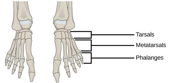 Illustration shows a human foot. The metatarsals are five long, thin bones that connect to the phalanges.