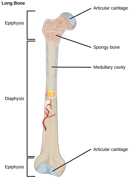 bone | biology ii, Cephalic Vein