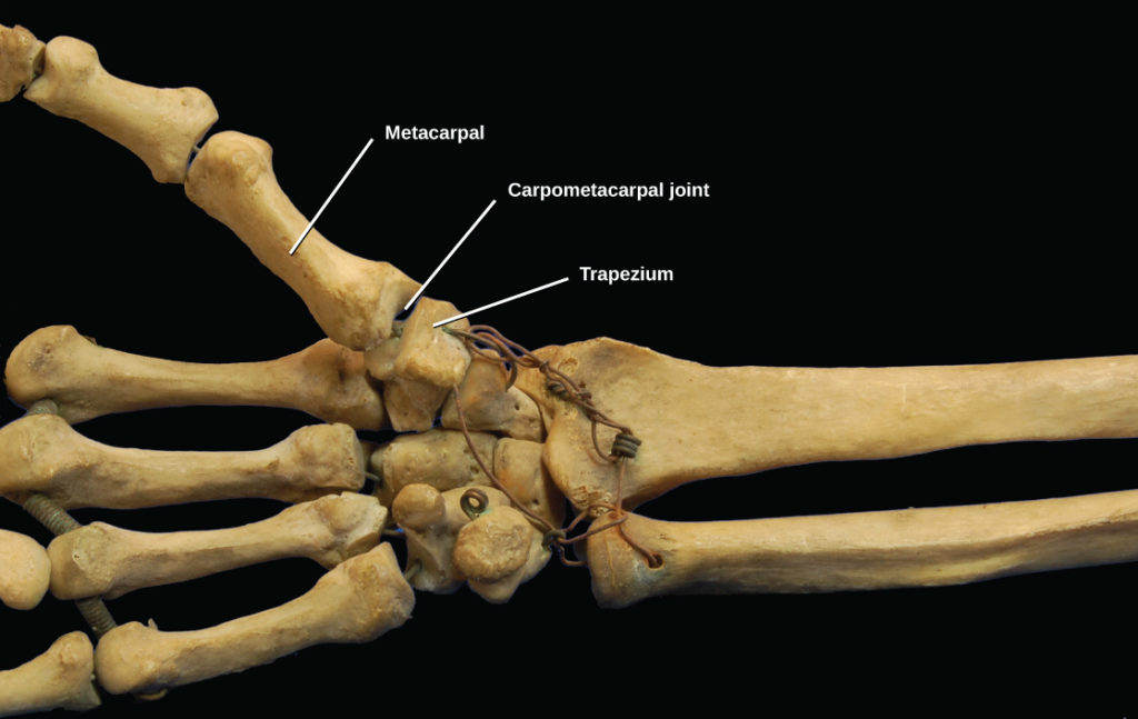 Types Of Synovial Joints Biology For Majors Ii