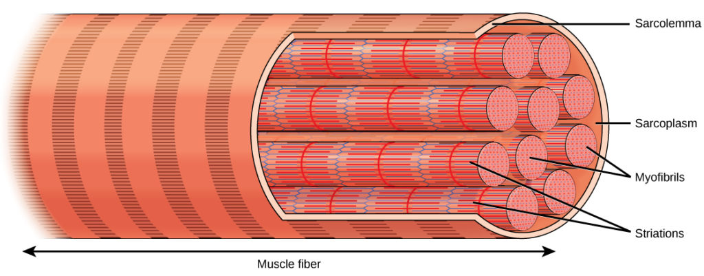 Types of Muscle Tissue and Fibers | Biology for Majors II
