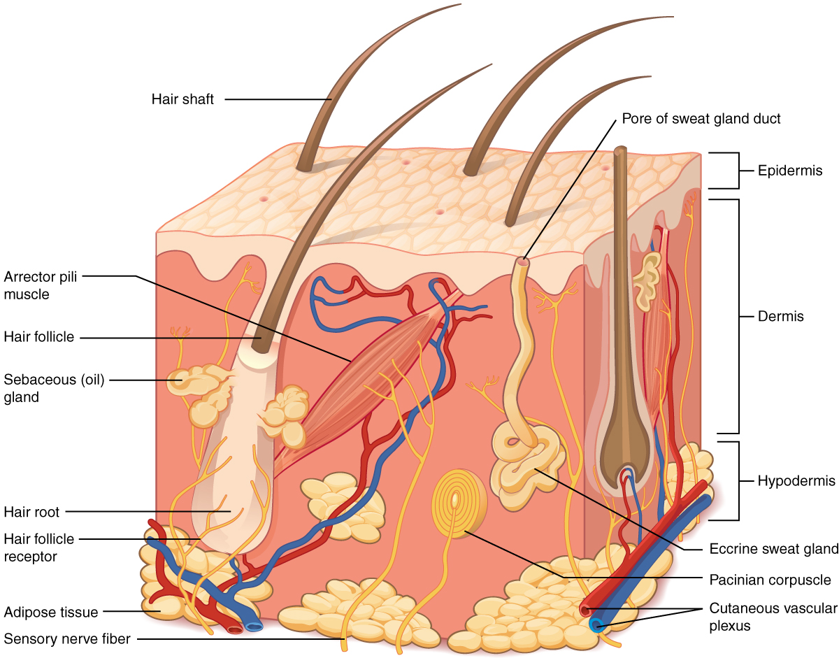 501_Structure_of_the_skin integumentary system biology for majors ii