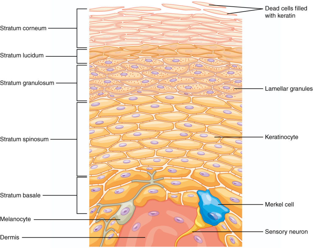 Epidermis | Biology for Majors II