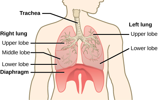The illustration shows the trachea, which starts at the top of the neck and continues down into the chest, where it branches into the bronchi, which enter the lungs. The left lung has two lobes. The upper lobe is located in front of and above the lower lobe. The right lung has three lobes. The upper lobe is on the top, the lower lobe is on the bottom, and the middle lobe is sandwiched between them. The diaphragm presses against the bottom of the lungs and has the appearance of skin stretched over the top of a drum. Wide flaps of the diaphragm extend downward on the front left and right sides of the body. On the back, thin flaps of diaphragm stretch downward on either side of the spine.