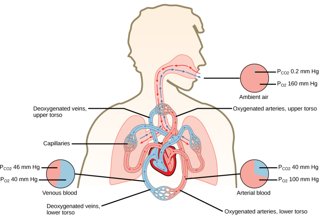 The illustration shows the movement of deoxygenated air into the lungs, and oxygenated air out of the lungs. Also shown is the circulation of blood through the body. Circulation begins when deoxygenated blood in arteries leaves the right side of the heart and enters the lungs. Oxygenated blood exits the lungs, and enters the left side of the heart, which pumps it to the rest of the body via arteries. The partial pressure of oxygen in the atmosphere is 160 millimeters of mercury, and the partial pressure of carbon dioxide is 0.2 millimeters of mercury. The partial pressure of oxygen in the arteries is 100 millimeters of mercury, and the partial pressure of carbon dioxide is 40 millimeters of mercury. The partial pressure of oxygen in the veins is 40 millimeters of mercury, and the partial pressure of carbon dioxide is 46 millimeters of mercury.
