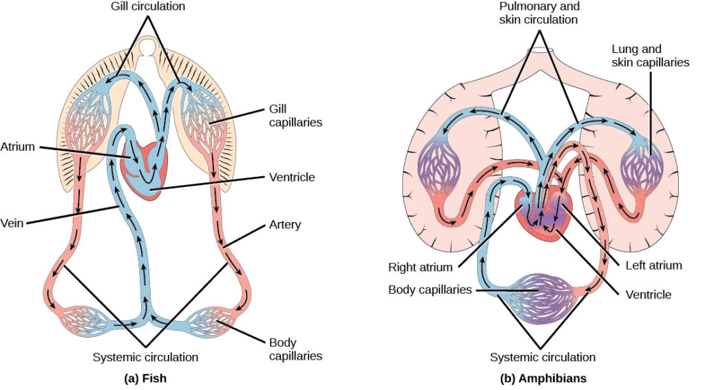 Illustration A shows the circulatory system of fish, which have a two-chambered heart with one atrium and one ventricle. Blood in systemic circulation flows from the body into the atrium, then into the ventricle. Blood exiting the heart enters gill circulation, where gases are exchanged by gill capillaries. From the gills blood re-enters systemic circulation, where gases in the body are exchanged by body capillaries. Illustration B shows the circulatory system of amphibians, which have a three-chambered heart with two atriums and one ventricle. Blood in systemic circulation enters the heart, flows into the right atrium, then into the ventricle. Blood leaving the ventricle enters pulmonary and skin circulation. Capillaries in the lung and skin exchange gases, oxygenating the blood. From the lungs and skin blood re-enters the heart through the left atrium. Blood flows into the ventricle, where it mixes with blood from systemic circulation. Blood leaves the ventricle and enters systemic circulation.
