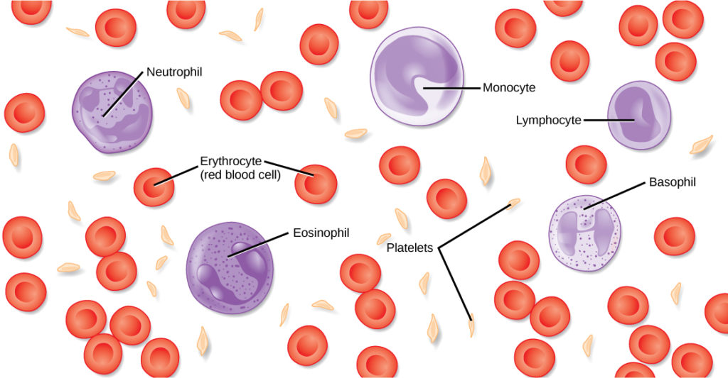 Illustration shows different types of blood cells and cellular components. Red blood cells are disc-shaped and puckered in the middle. Platelets are long and thin, and about half the length red blood cells. Neutrophils, monocytes, lymphocytes, eosinophils, and basophils are about twice the diameter of red blood cells and spherical. Monocytes and eosinophils have U-shaped nuclei. Eosinophils contain granules, but monocytes do not. Basophils and neutrophils both have irregularly shaped, multi-lobed nuclei and granules.