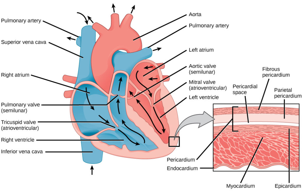 This illustration shows the parts of the heart. Blood enters the right atrium through an upper, superior vena cava and a lower, inferior vena cava. From the right atrium, blood flows through the funnel-shaped tricuspid valve into the right ventricle. Blood then travels up and through the pulmonary valve into the pulmonary artery. Blood re-enters the heart through the pulmonary veins, and travels down from the left atrium, through the mitral valve, into the right ventricle. Blood then travels up through the aortic valve, into the aorta. The tricuspid and mitral valves are atrioventricular and funnel-shaped. The pulmonary and aortic valves are semilunar and slightly curved. An inset shows a cross section of the heart. The myocardium is the thick muscle layer. The inside of the heart is protected by the endocardium, and the outside is protected by the pericardium.