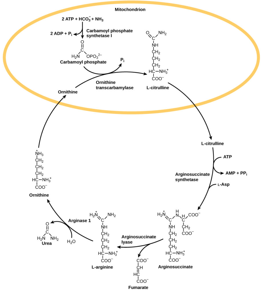The urea cycle begins in the mitochondrion, where bicarbonate (HCO3) is combined with ammonia (NH3) to make carbamoyl phosphate. Two ATP are used in the process. Ornithine transcarbamylase adds the carbamoyl phosphate to a five-carbon amino acid called ornithine to make L-citrulline. L-citrulline leaves the mitochondrion, and an enzyme called arginosuccinate synthetase adds a four-carbon amino acid called L-aspartate to it to make arginosuccinate. In the process, one ATP is converted to AMP and PPi. Arginosuccinate lyase removes a four-carbon fumarate molecule from the arginosuccinate, forming the six-carbon amino acid L-arginine. Arginase-1 removes a urea molecule from the L-arginine, forming ornithine in the process. Urea has a single carbon double-bonded to an oxygen and single-bonded to two ammonia groups. Ornithine enters the mitochondrion, completing the cycle.