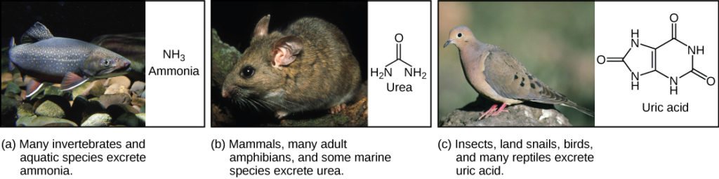 Part A shows a photo of a freshwater fish and states that many invertebrates and aquatic species excrete ammonia. The chemical structure of ammonia is NH3. Part B shows a photo of a wood rat and states that mammals, many adult amphibians, and some marine species excrete urea. The chemical structure of urea is shown. Urea has two NH2 groups attached to a central carbon. An oxygen is also double-bonded to this central carbon. Part C shows a photo of a pigeon and states that insects, land snails, birds, and many reptiles excrete uric acid. The chemical structure of uric acid is shown. Uric acid has a six-membered carbon ring attached to a five-membered ring. Each ring has two NH groups embedded in it. An oxygen is double-bonded to each ring.