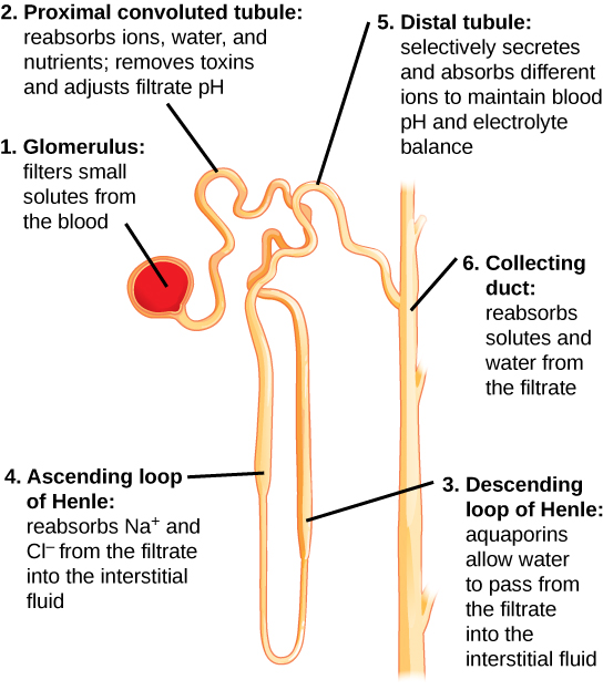 Kidney function and physiology biology for majors ii illustration labels parts of a nephron and their function the nephron begins at the glomerulus ccuart Choice Image