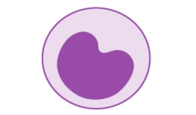 Monocytes have a regular shape and a horseshoe-shaped nucleus.