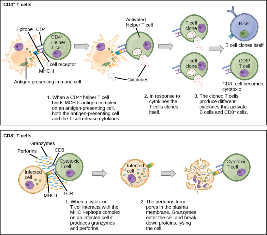 Illustration shows activation of a CD4-plus helper T cell. An antigen-presenting cell digests a pathogen. Epitopes from this pathogen are presented in conjunction with MHC II molecules on the cell surface. A T cell receptor and a CD8 receptor, both on the surface of the T cell, bind the MHC II-epitope complex. As a result, the helper T cell becomes activated and both the helper T cell and antigen-presenting cell release cytokines. The cytokines induce the helper T cell to clone itself. The cloned helper T cells release different cytokines that activate B cells and CD8+ T cells, turning them into cytotoxic T cells. The cytotoxic and binds the MHC I-epitope complex on an infected cell. The cytotoxic T cell then releases perforin molecules, which form a pore in the plasma membrane, and granzymes, which break down proteins, killing the cell.