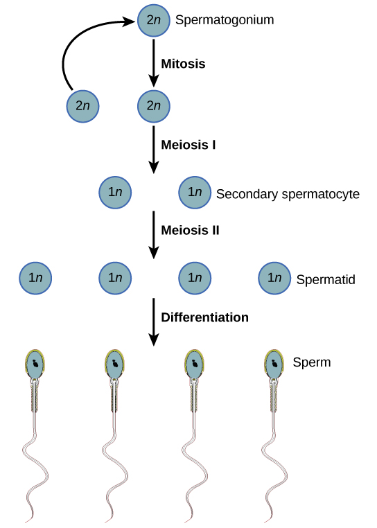 Haploid sperm cells meiosis