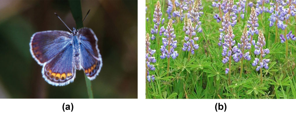 Photo A depicts a Karner blue butterfly, which has light blue wings with gold ovals and black dots around the edges. Photo B depicts a wild lupine flower, which is long and thin with clam-shaped petals radiating out from the center. The bottom third of the flower is blue, the middle is pink and blue, and the top is green.