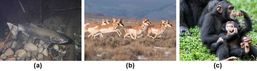 Photo (a) shows a salmon swimming. Photo (b) shows pronghorn antelope running on a plain. Photo (c) shows chimpanzees.