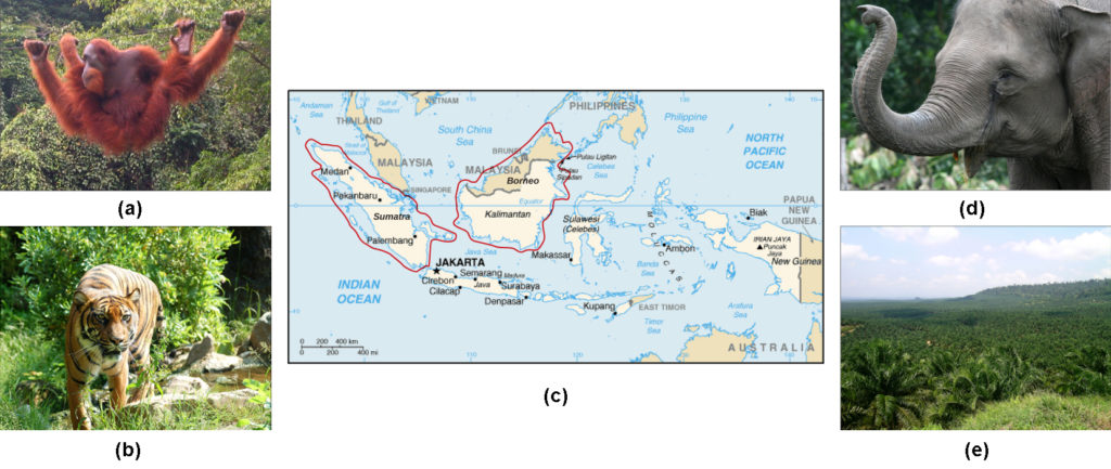 Photo A shows an orangutan hanging from a wire in a lush rainforest filled with many different kinds of vegetation. Photo B shows a tiger. Map C shows the islands of Borneo and Sumatra in the south Pacific, just northwest of Australia. Sumatra is in the country of Indonesia. Half of Borneo is in Indonesia, and half is in Malaysia. Photo D shows a gray elephant. Photo E shows rolling hills covered with homogenous short, bushy oil palm trees.