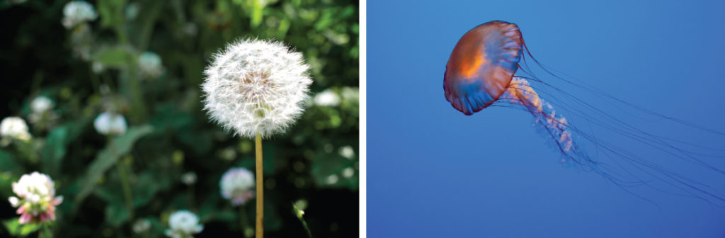 r-selected species, shows photos of a dandelion and a jellyfish.