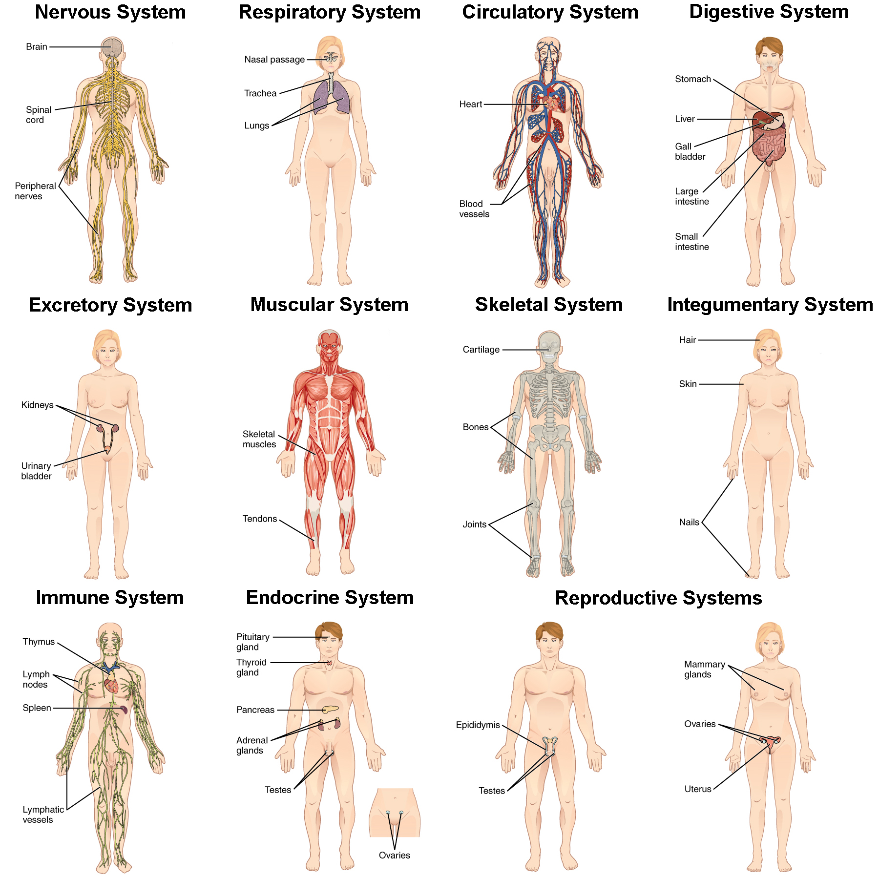 Integration of Systems | Biology for Majors II