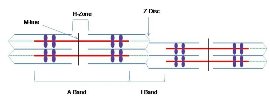 Refer To The Diagram Of A Sarcomere Below Which Statement Based On The Diagram Is True
