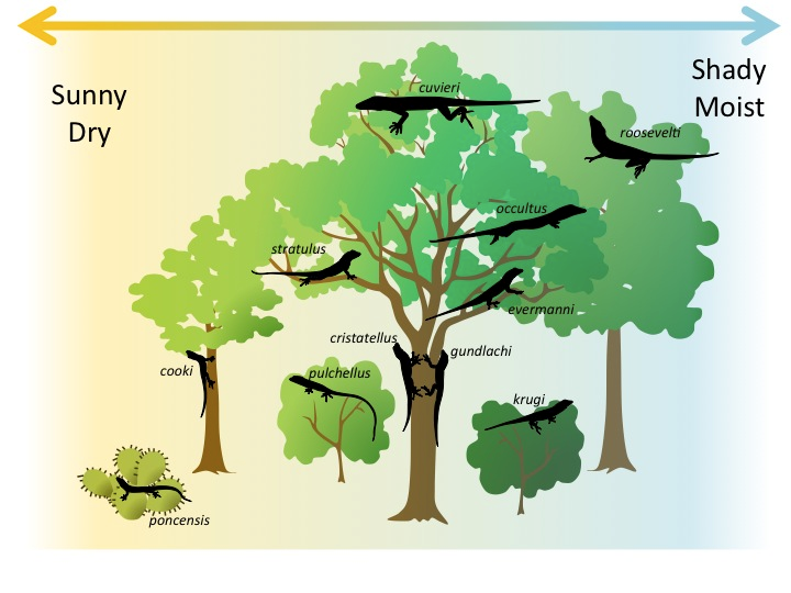 Diagram representing resource partitioning among species of the anole lizard. Some live high in the tree, others in the middle of the tree, others on the trunk. Other anole species live in bushes or cactuses. Also, some live in a sunnier drier environment and some in a shadier moister environment. There are eleven species pictured in all, each with a slightly different environment it occupies.