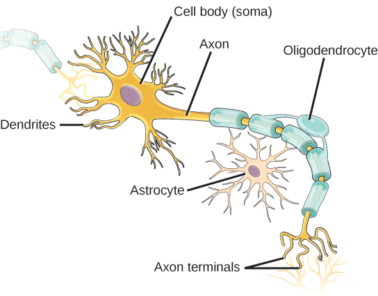 illustration shows a neuron which has an oval cell body branchlike dentrites extend from three