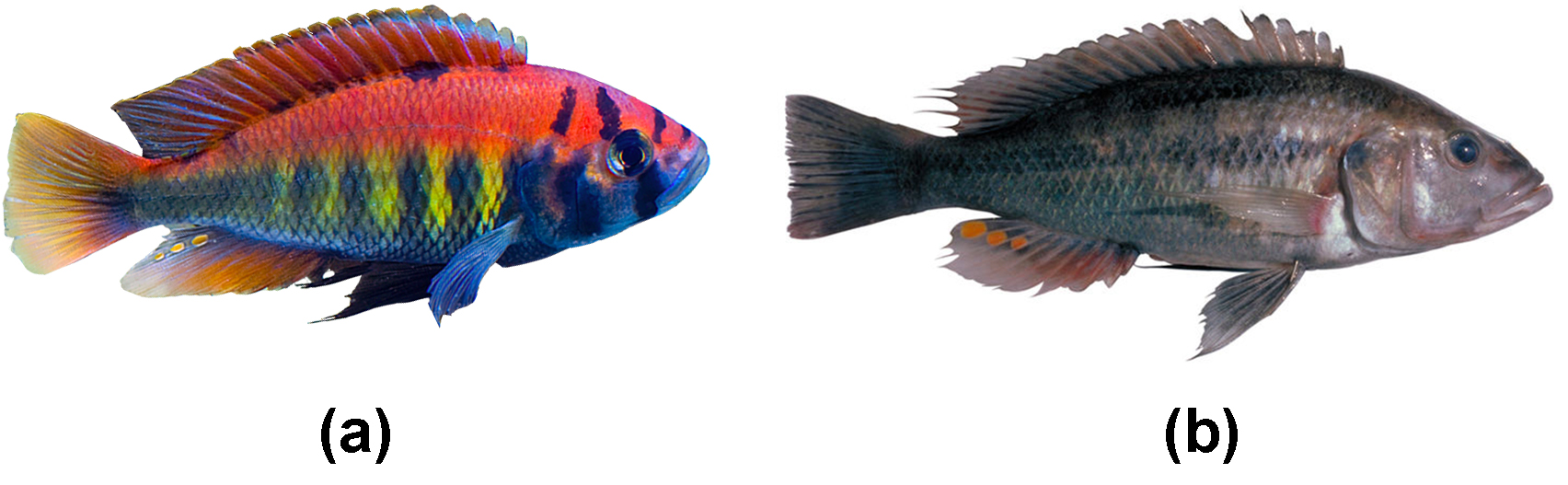 photo a shows a brilliantly colored rainbow fish. Photo b shows a duller drab grey fish with a few spots of orange coloring.
