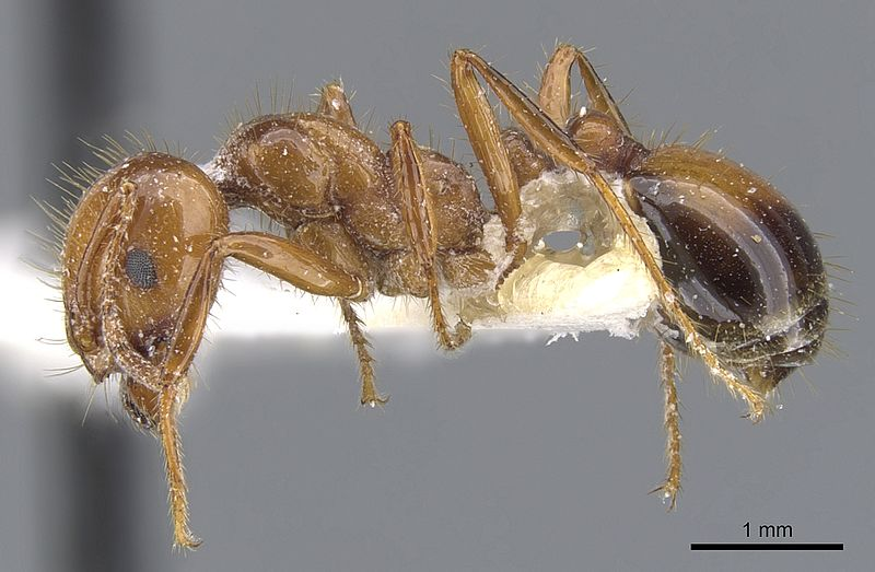 photo of a red ant