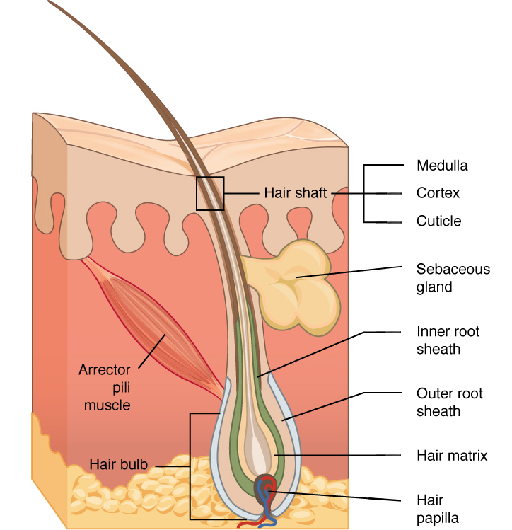 Accessory Structures of the Skin | Anatomy and Physiology I