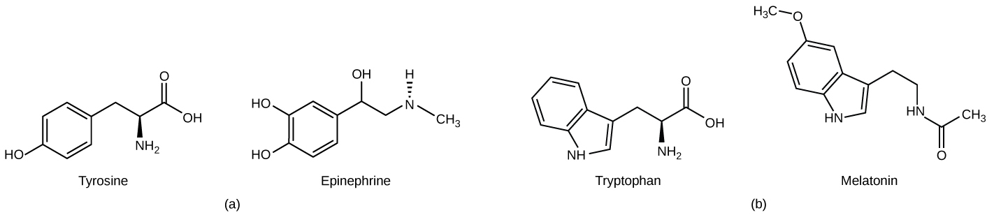 Part A shows the amino acid tyrosine on the left and epinephrine on the right. Epinephrine is similar in structure to tyrosine, with minor modifications. Part B shows the amino acid tryptophan on the left and the structurally similar melatonin on the right.