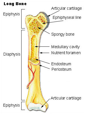 This illustration depicts an anterior view of the right femur, or thigh bone. The inferior end that connects to the knee is at the bottom of the diagram and the superior end that connects to the hip is at the top of the diagram. The bottom end of the bone contains a smaller lateral bulge and a larger medial bulge. A white articular cartilage covers the inner half of each bulge as well as the small trench that runs between the bulges. This area of the inferior end of the bone is labeled the epiphysis. The entire length of the shaft is the diaphysis. The superior half of the femur is cut away to show its internal contents. The bone is covered with an outer translucent sheet called the periosteum. The cavity at the center of the bone is called the medullary cavity. The inner layer of the bone that lines the medullary cavity is called the endosteum. The superior end of the diaphysis is connected to the epiphysis. The epiphysis of the femur is roughly hexagonal in shape. However, the upper right side of the hexagon has a large, protruding knob. The femur connects and rotates within the hip socket at this knob. The knob is covered with a white colored articular cartilage. The internal anatomy of the epiphysis is revealed. The medullary cavity in this region is filled with the mesh like spongy bone. There is a clear, white line separating parts of the spongy bone. This line is labeled the epiphyseal line.