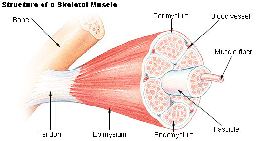 The Muscular System | Biology for Majors II