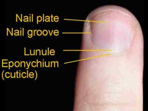A dorsal view of a finger. The eponychium (more commonly known as the cuticle) is a thin, pink layer between the white proximal edge of the nail (the lunule), and the edge of the finger skin. The lunule appears as a crescent-shaped white area at the proximal edge of the pink-shaded nail. The nail folds are where the sides of the nail contact the finger skin. The body of the nail is called the nail plate.