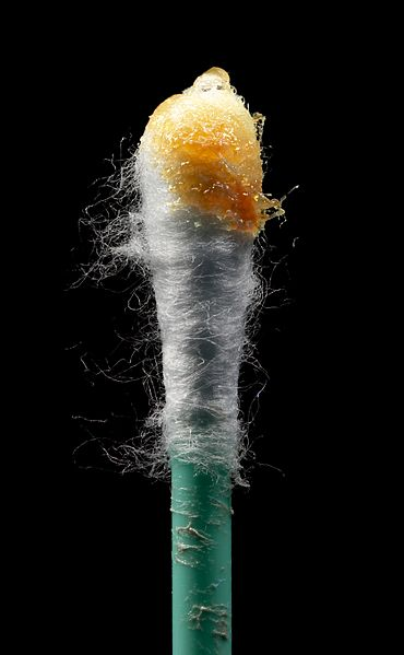 There is a waxy orange substance on the end of a cotton swab.