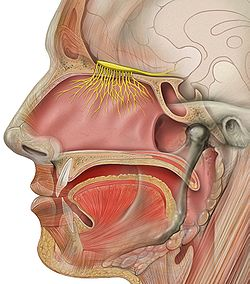 A nerve branches out in the nasal cavity and leads back into the brain.
