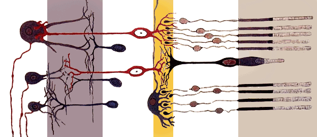 Retina's simplified axial organization. The retina is a stack of several neuronal layers. Light is concentrated from the eye and passes across these layers (from left to right) to hit the photoreceptors (right layer). This elicits chemical transformation mediating a propagation of signal to the bipolar and horizontal cells (middle yellow layer). The signal is then propagated to the amacrine and ganglion cells. These neurons ultimately may produce action potentials on their axons. This spatiotemporal pattern of spikes determines the raw input from the eyes to the brain.