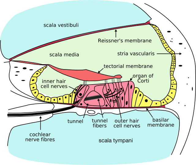 "Cross-section of the cochlea. The inner hair cells are located at the termination of the ""inner hair cell nerves"" and the outer hair cells are located at the termination of the ""outer hair cell nerves."""